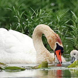 Mama Mute Swan and Cygnet by Steve Gass