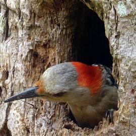 Mama Woodpecker Peeks Out by Barbie Corbett-Newmin
