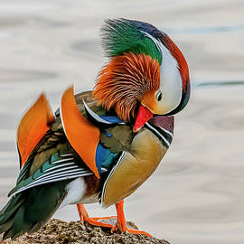 Mandarin Duck Preening by Morris Finkelstein