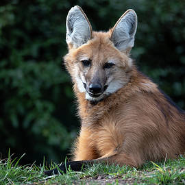 Maned Wolf Repose by Art Cole