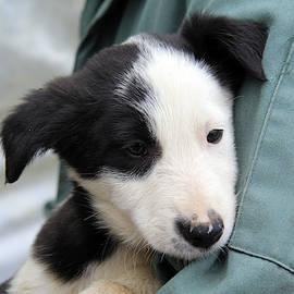 Man's best friend - border collie dog puppy by Western Exposure