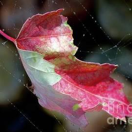 Maple Leaf  by Elisabeth Derichs