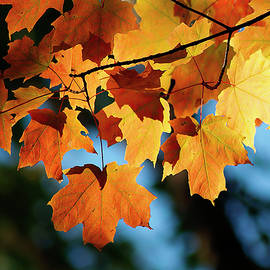 Maple Leaves Against Sky by Susan Buscho