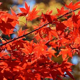 Maple Leaves in the Autumn Sun by Richard Bryce and Family