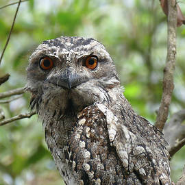 Marbled Frogmouth Stare by Maryse Jansen