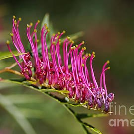 Marching On Pink Grevillea Flower  by Joy Watson