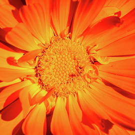 Marigold Sunny Face. by Maggie Mccall