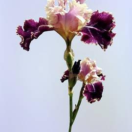 Maroon and Pink Irises by Susan Savad