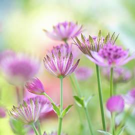 Masterwort Garden by Jacky Parker