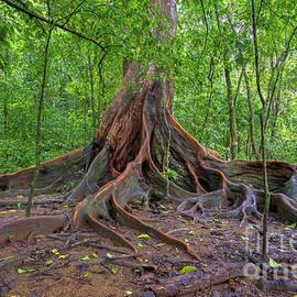 Matapalo Tree by Brian Kamprath