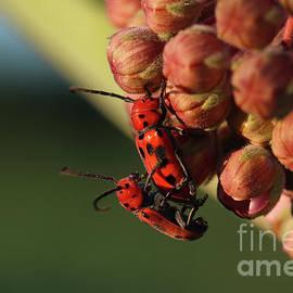 Mating Red Milkweed Beetles by Megan McCarty