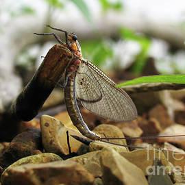Mayfly by Douglas Stucky
