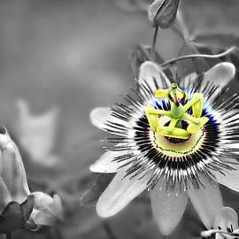 Maypop Passionflower Stamens Selective Color by Marilyn DeBlock
