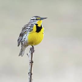 Meadowlark II by David Hicks