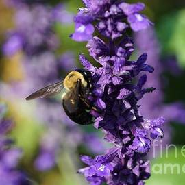 Mealy Sage and the Bee by Maria Faria Rodrigues