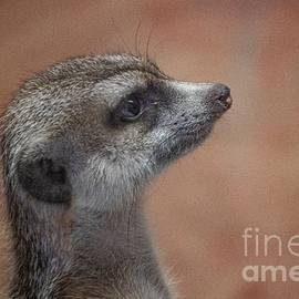 Meerkat Profile by Linda Howes