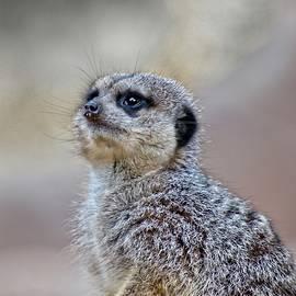 Meerkat by Steven Ralser