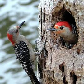 Meeting of the Mates Red Bellied Woodpeckers by Barbie Corbett-Newmin