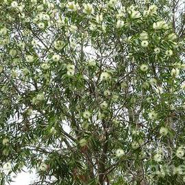 Melaleuca quinquenervia, front garden Tea Tree Gully. Sth. Australia.  by Rita Blom