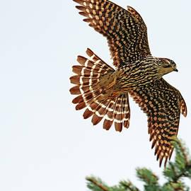 Merlin In Flight by Debbie Oppermann
