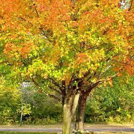 Mesmerizing Maples, Minnesota by Ann Brown