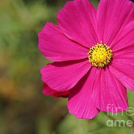 Mexican Aster by Maria Faria Rodrigues