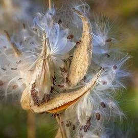 Milkweed Pods  by Susan Rydberg