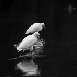 Mission Bay Snowy Egret Two by William Dunigan