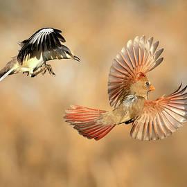 Mockingbird harassing Cardinal by Judi Dressler