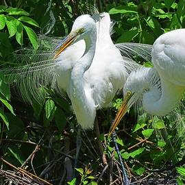 Momma And Poppa Great Egrets by Lisa Wooten