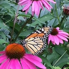 Monarch and Echinacea  by Jane Collins
