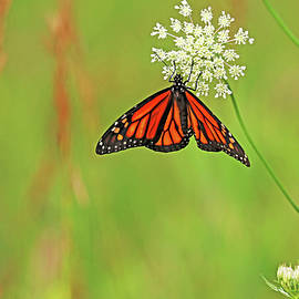 Monarch And Lace by Debbie Oppermann