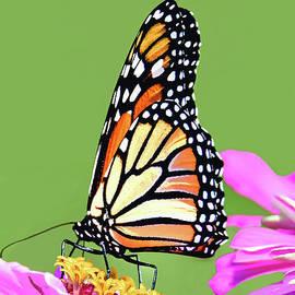 Monarch Butterfly in Zinnia Patch by Regina Geoghan