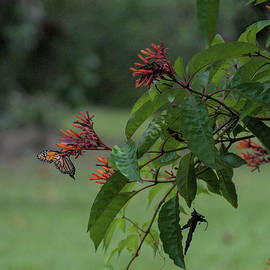 Monarch Butterfly and Firebush flower  by Chris Mercer