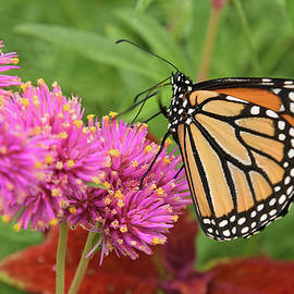 Monarch Butterfly Balance by Robert Tubesing
