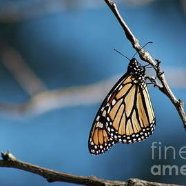 Monarch Butterfly by Giovani