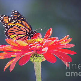 Monarch Butterfly On Red Zinnia by Sharon McConnell