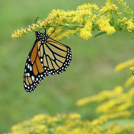 Monarch Butterfly by Ralph Staples