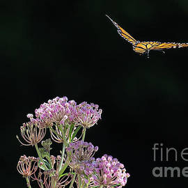 Monarch Butterfly Taking Flight by Sharon McConnell