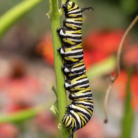 Monarch Caterpillar on Milkweed 7/27 by Bruce Frye