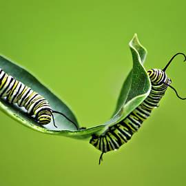 Monarch Caterpillars by Christina Rollo