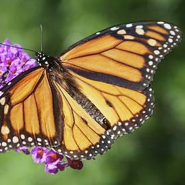 Monarch on Butterfly Bush by Nikolyn McDonald