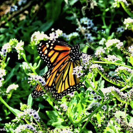 Monarch on Fiddlehead Blossoms by Bunny Clarke