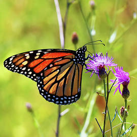 Monarch On Knapweed by Daniel Beard