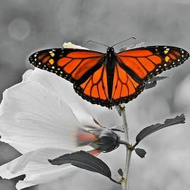 Monarch on Rose of Sharon Selective by Carmen Macuga