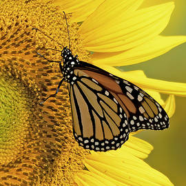 Monarch on Yellow by Jack Nevitt