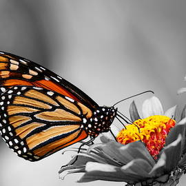 Monarch Selective by Living Color Photography Lorraine Lynch