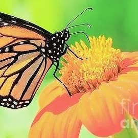 Monarch vs Flower of Flame by Lori Lafargue