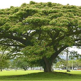 MonkeyPod Tree Wailoa Park by Heidi Fickinger