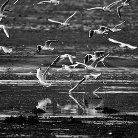 Mono Gulls by Neil R Finlay